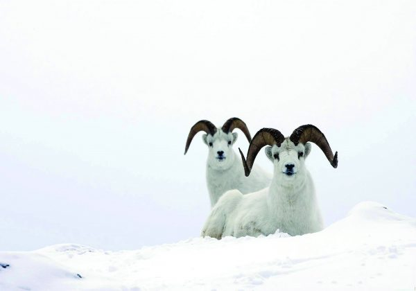 Poster Icelandic Snow
